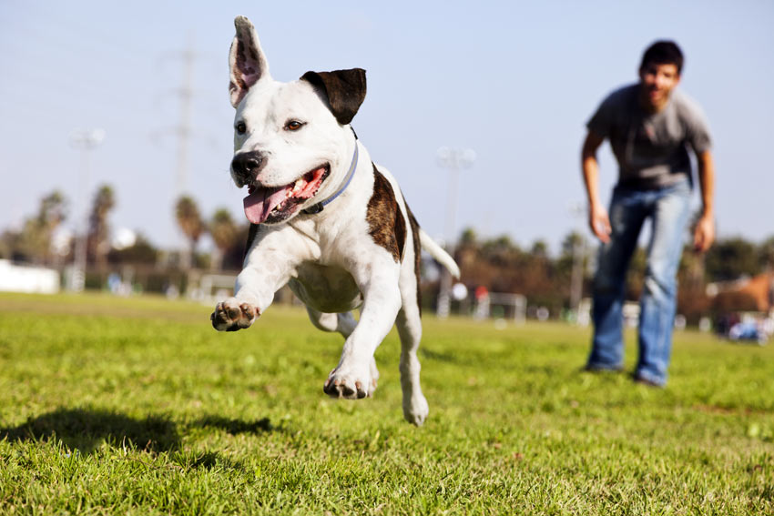 A young Staffordshire Bull Terrier getting some training in the park