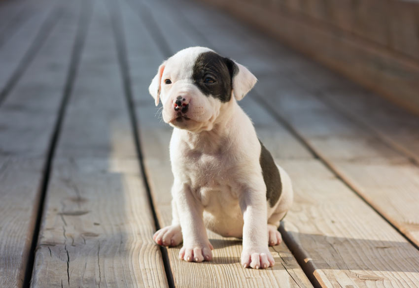 A young Stafordshire Bull Terrier sitting