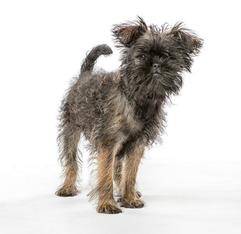 An Affenpinscher with a wiry coat