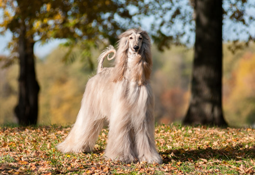 An Afghan Hound with a beautiful long coat