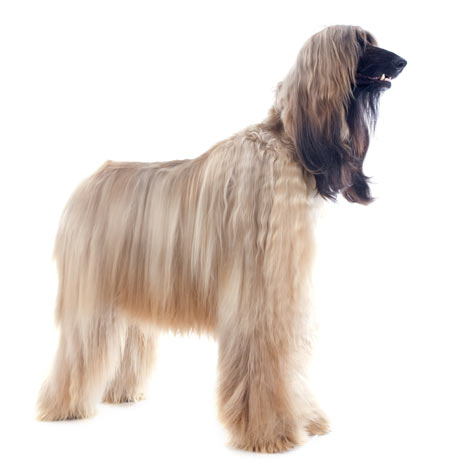 An Afghan Hound with a well groomed long coat