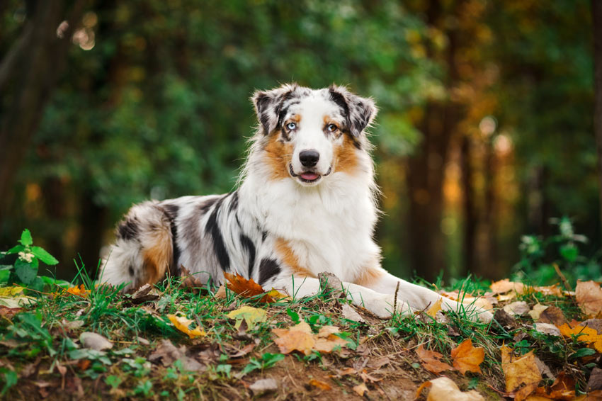 An Australian Shepherd Dog with a thick double coat