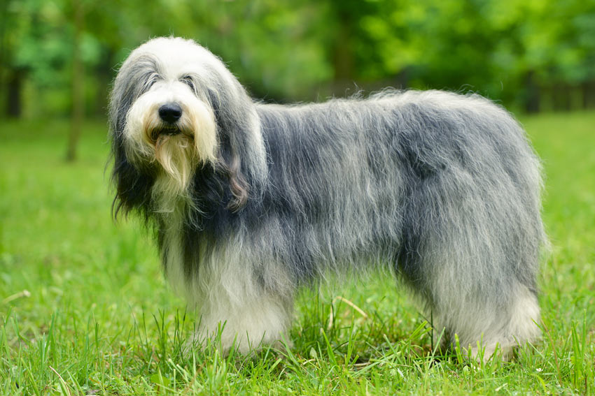 An Old English Sheepdog with a beautifully groomed long coat