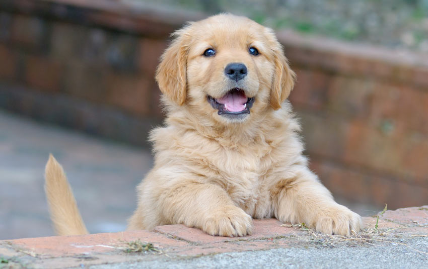 An adorable litle Golden Retriever puppy