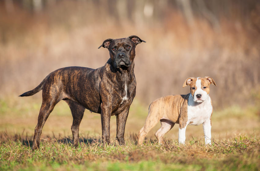 An adult Stafordshire Bull Terrier stood with her puppy