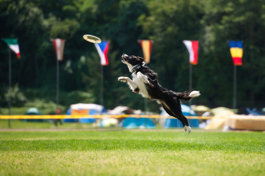 An athletic Border Collie in a dog competition