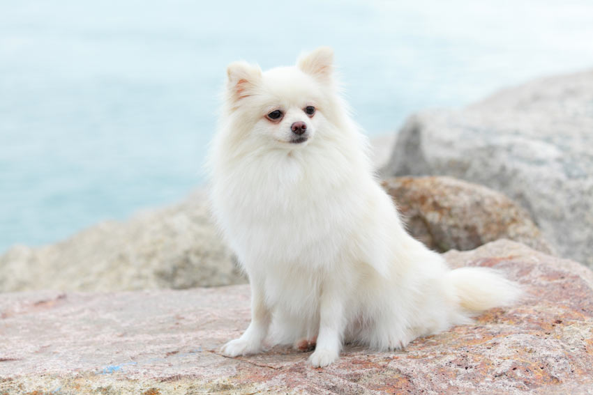 An elegant white Pomeranian dog