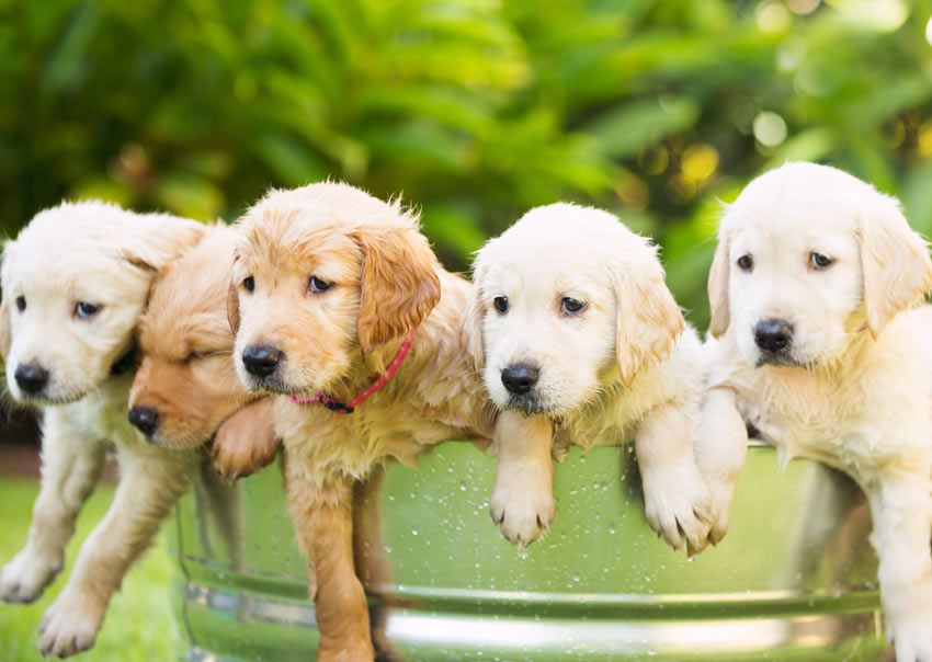 Five adorable Golden Retriever puppies having a bath