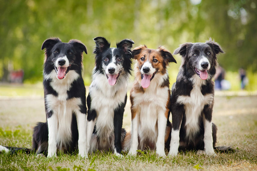 Four beautiful working collies sat in a line