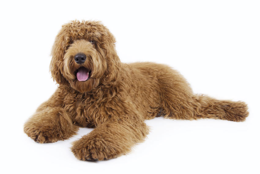 Labradoodle, a cross between a Labrador and a Poodle