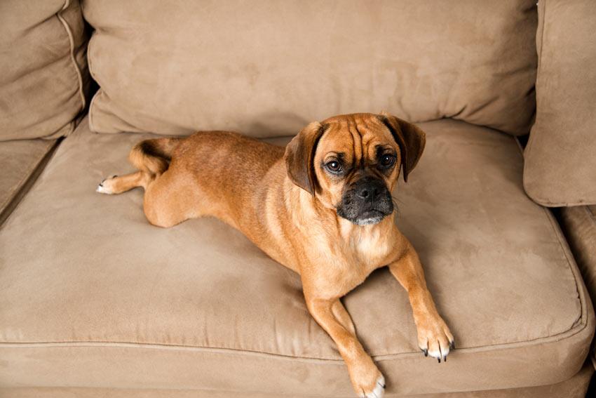 Puggle, a cross between a Pug and a Beagle