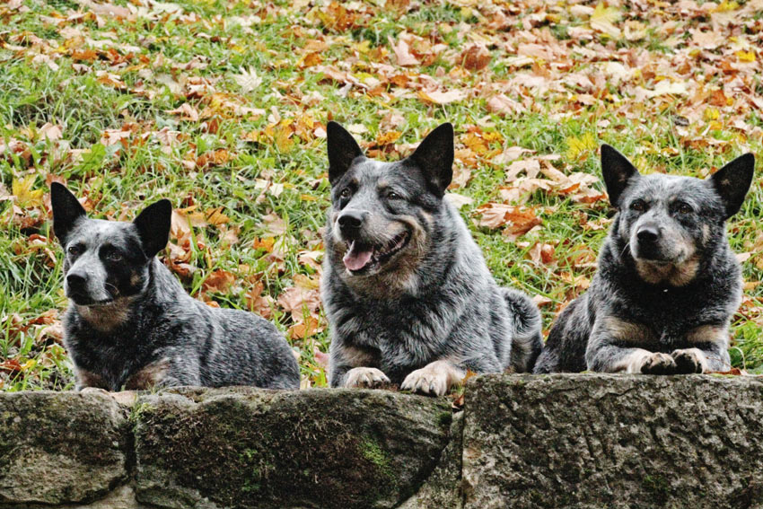 Three Australian Cattle Dogs with thick medium coats