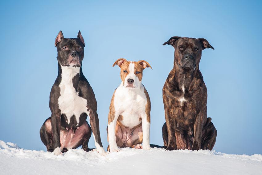 Drei prachtvolle Bull Terrier sitzen nebeneinander