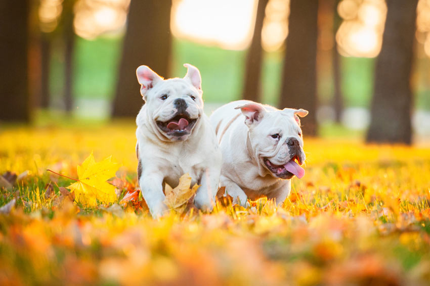 Two English Bulldogs playing outside