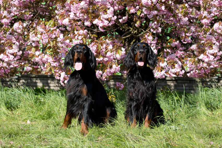 Two Gordon Setters with dark silky coats