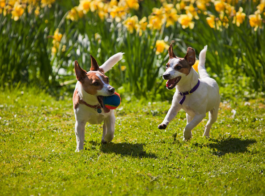 Two Jack Russells Terriers playing