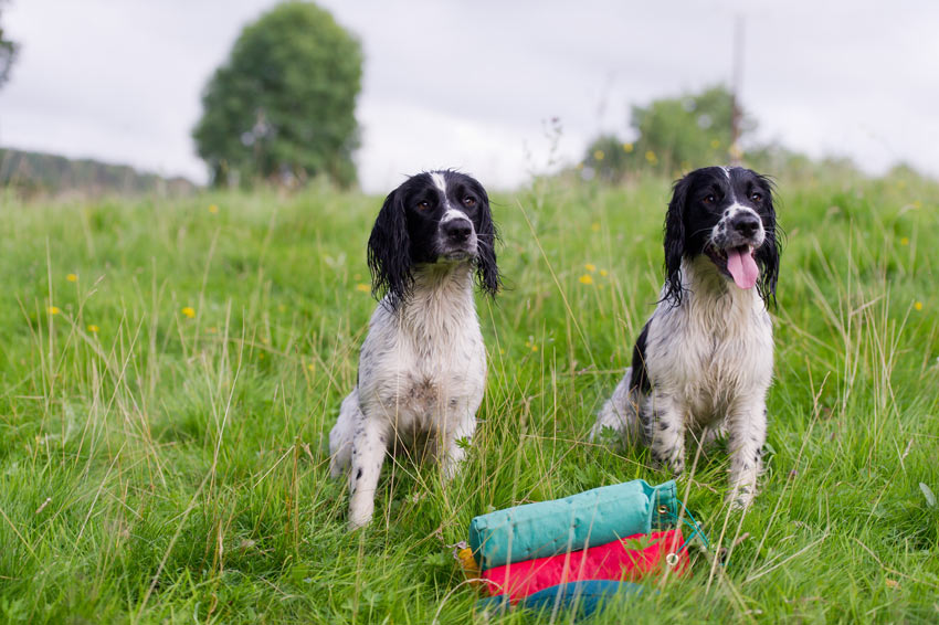 Two Spaniel Gundogs sitting waiting for some training