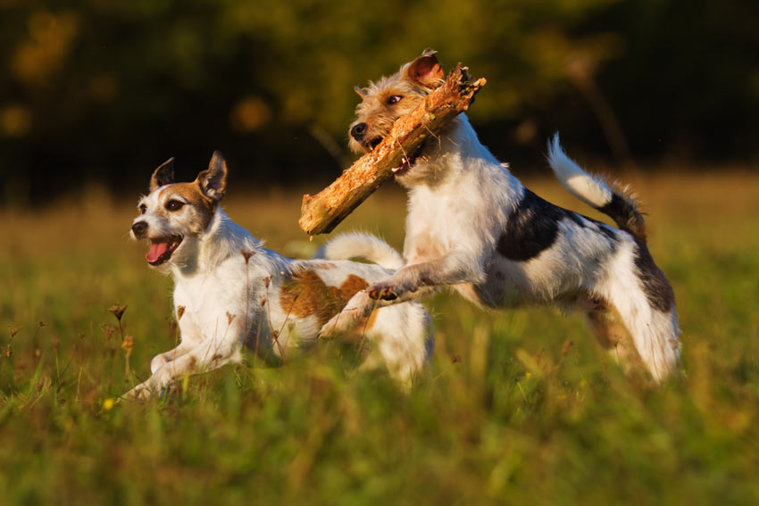 Two Terriers getting a lot of exercise retrieving sticks
