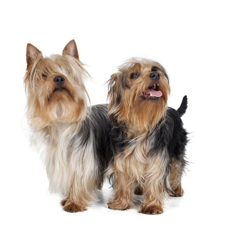 Two beautiful little Silky Terriers