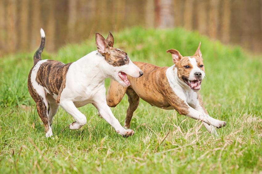 Två hundar leker och springer runt i trädgården