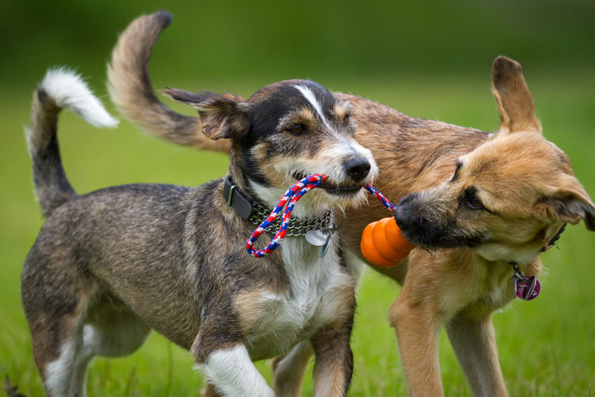 Two wire haired dogs playing tug of war with a kong toy