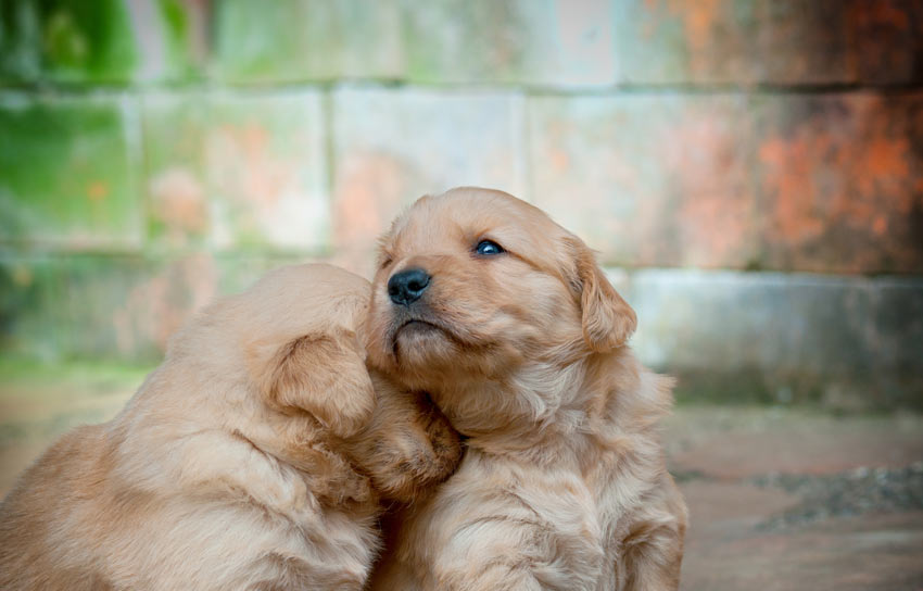 Two young golden puppies sitting down together