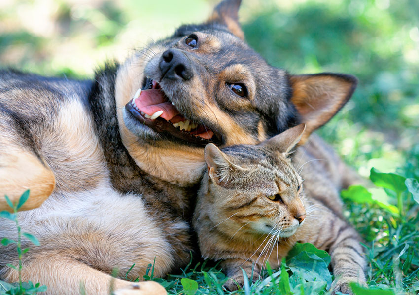 Dog and cat best of friends lying together outdoors