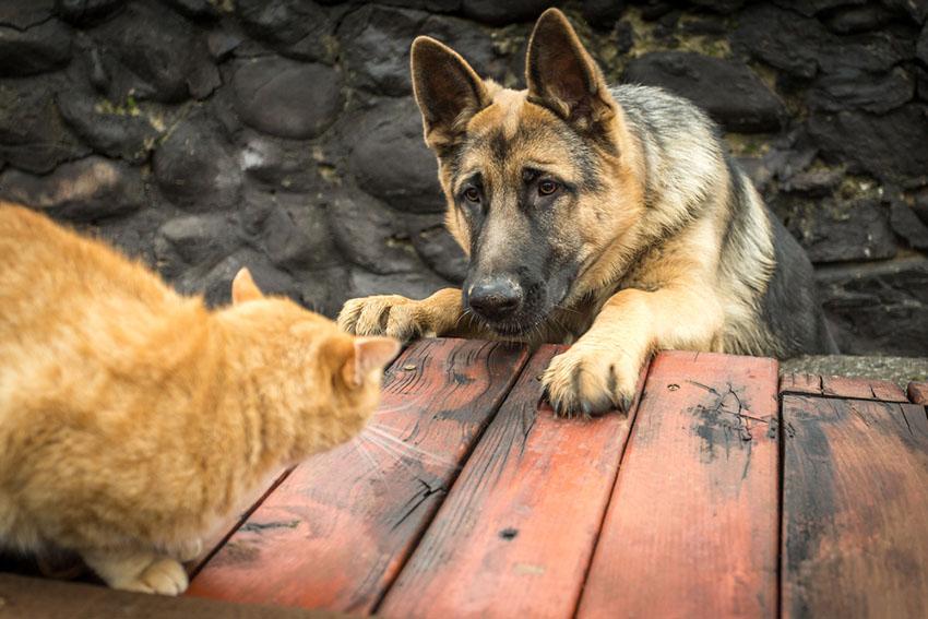 Dog chasing cat German Shepherd alsatian and Ginger tomcat