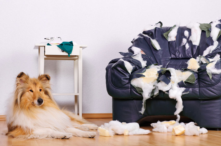 Dog destroys furniture Collie sits by shredded chair