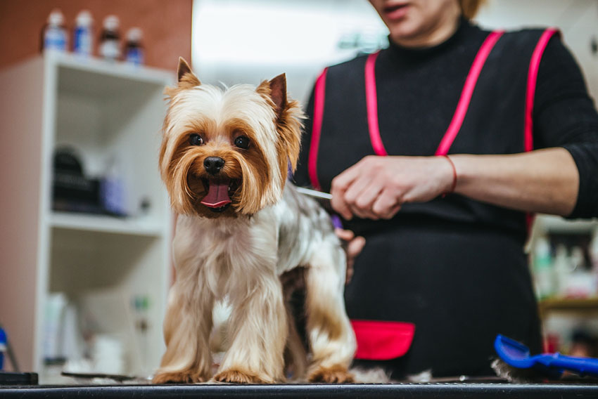 Dog grooming hair cut for Yorkshire terrier
