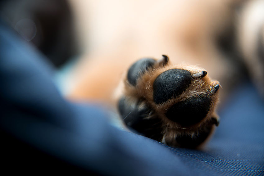 Dog paw showing pads claws and toes