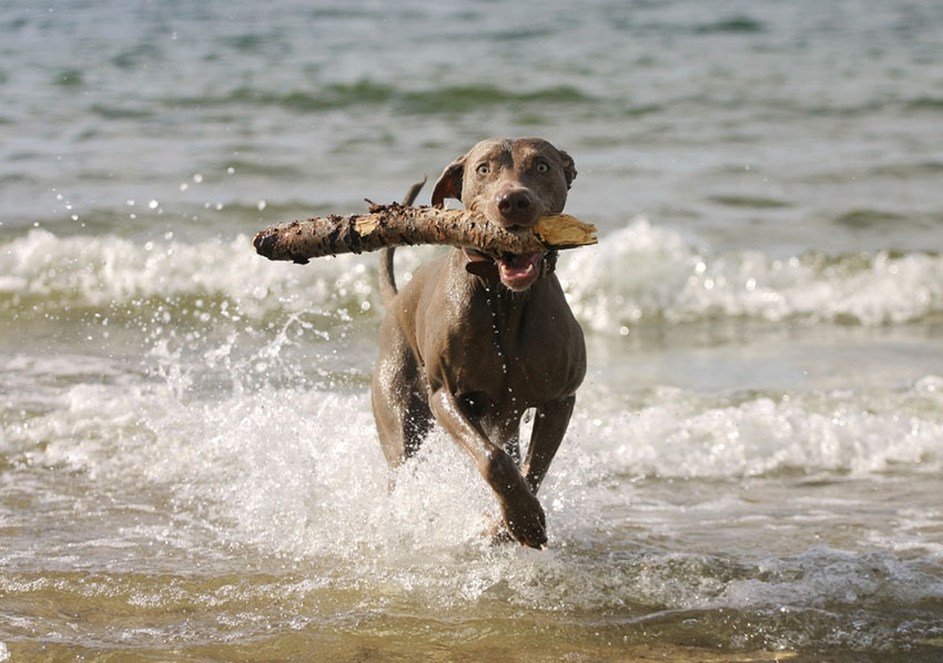 Dog playing fetch playing with stick in sea