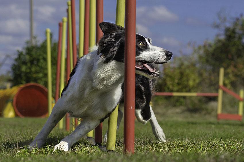 Dog show Border collie agility slalom.jpg