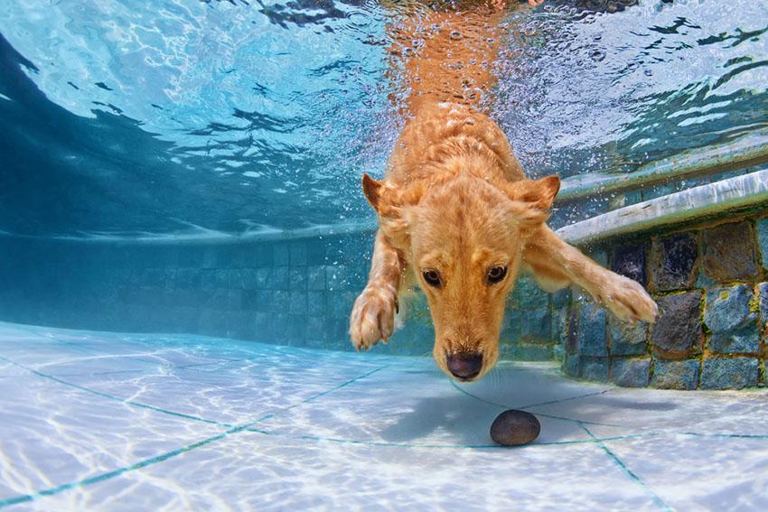 Dog swimming Golden retriever in pool