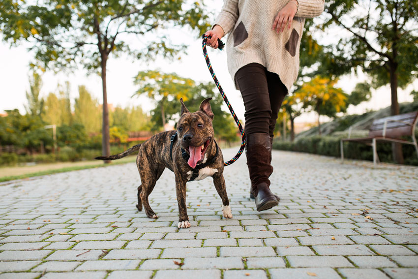 Dog walker with American bull terrier in park