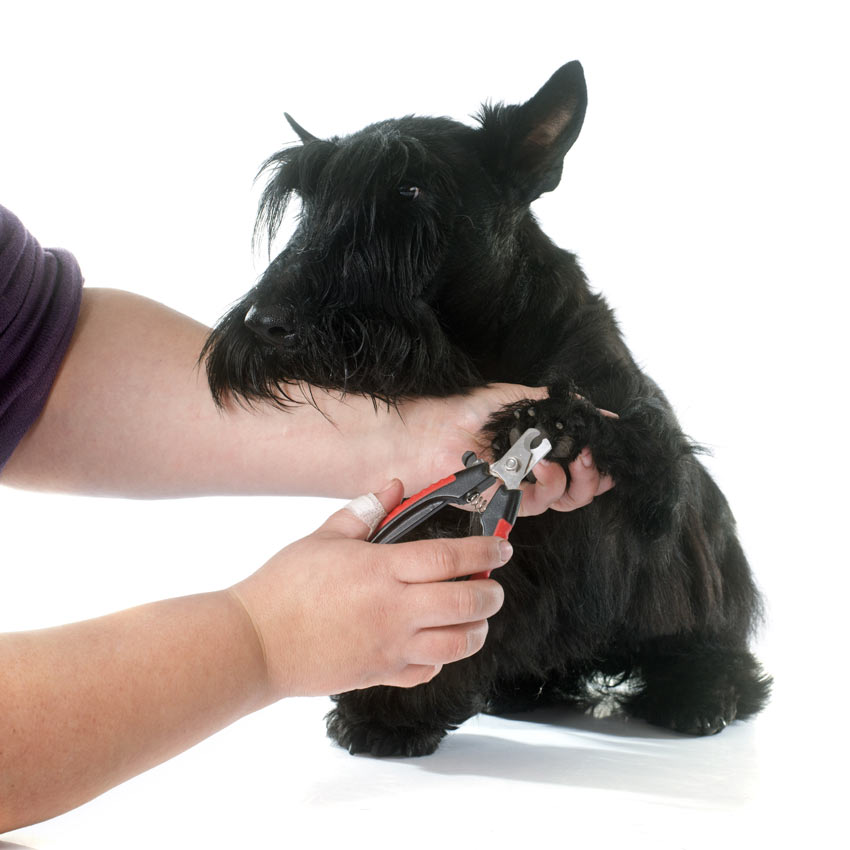 Scottish Terrier having nails clipped