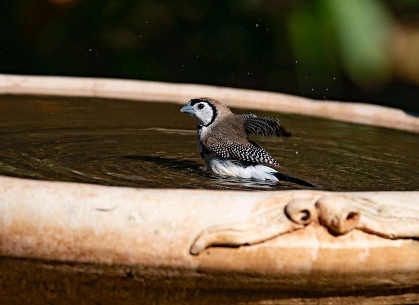 Double barred finch bathing