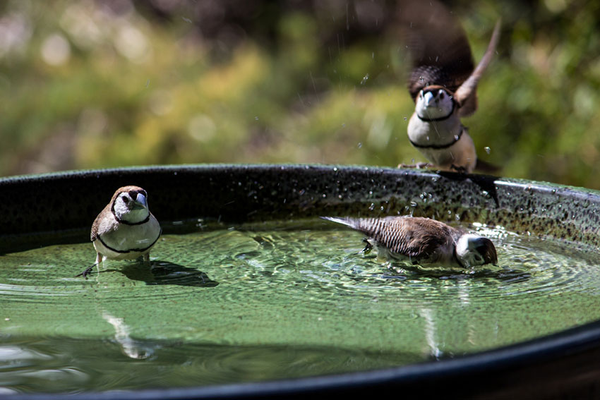 Owl finches bathing