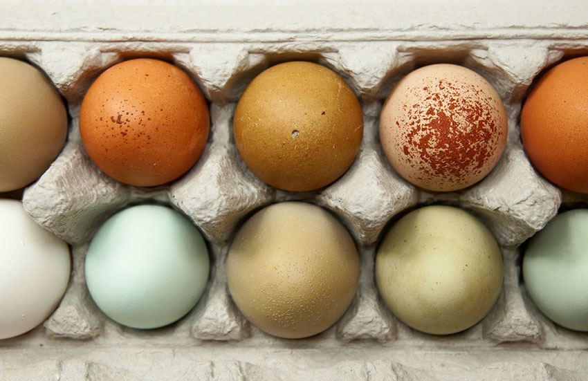 Best Chicken Breeds For Colorful Eggs About Chickens