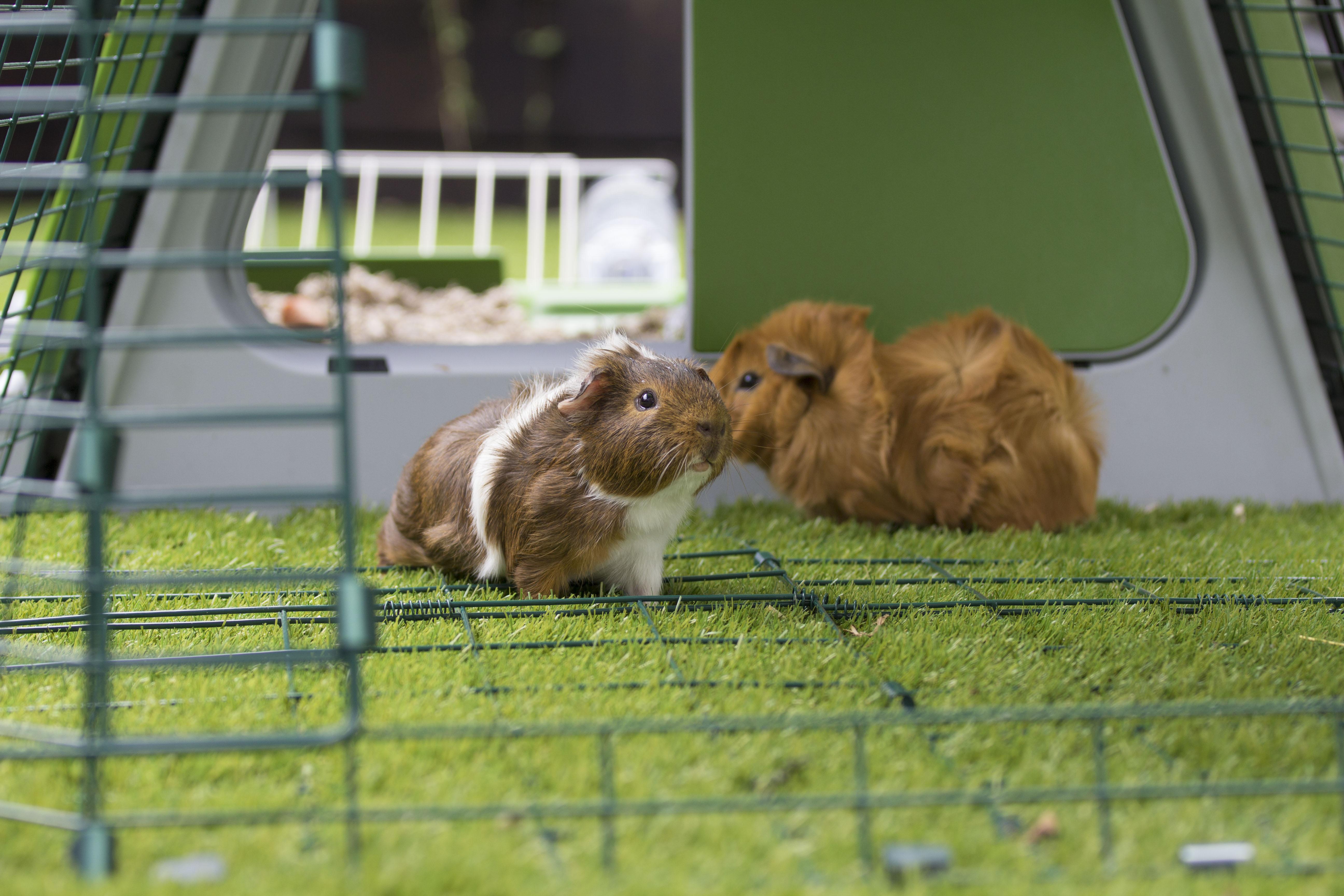 Des cochons d'inde jouant dans le clapier Eglu Go