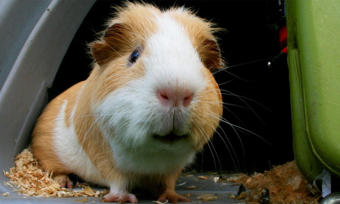 pig looking in