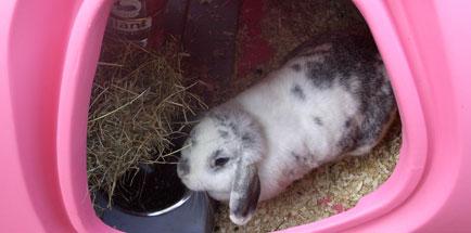 Ein Hase isst aus der Futterschale im Inneren des Stalles.