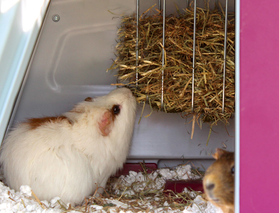 A guinea pig eating from the hay rack in the Eglu Go house