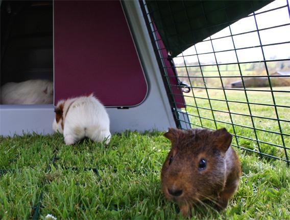 Des cochons d'inde dans leur enclos