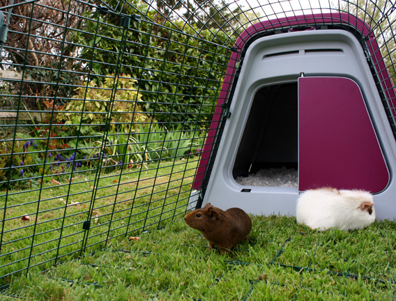 Guinea pigs playing in the Eglu Go Hutch run