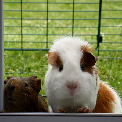 Guinea pigs looking into the Eglu Go Hutch