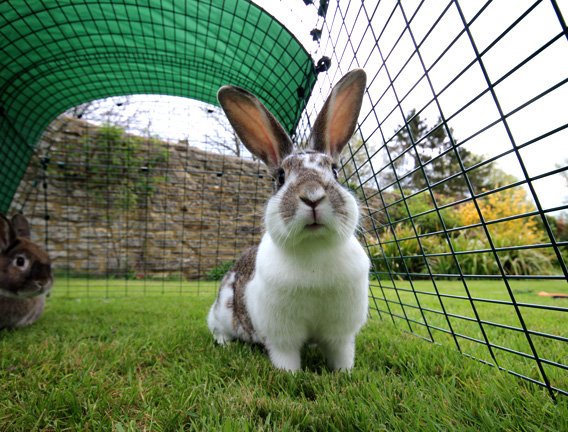 A pet bunny in the spacious rabbit run