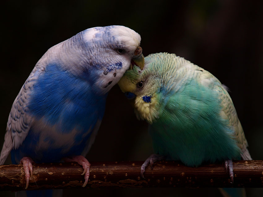 English budgie types