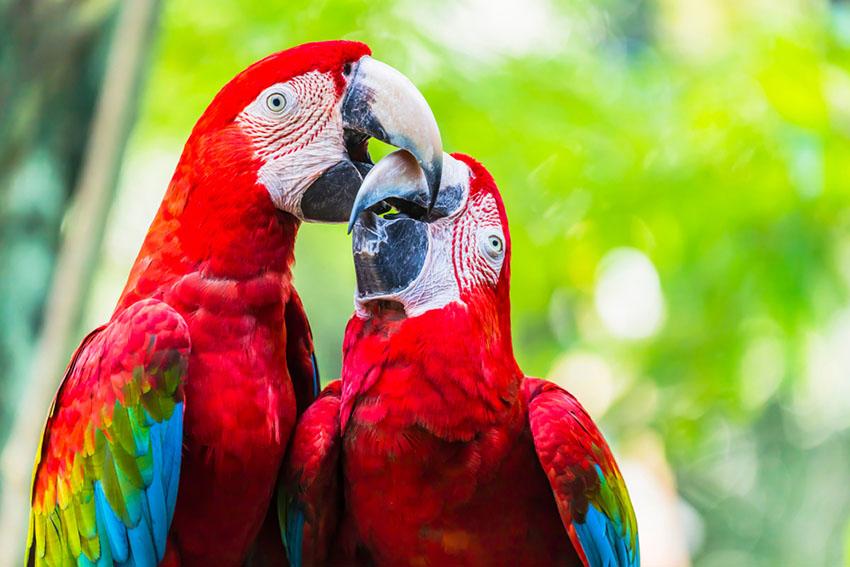 Scarlet macaw beaks