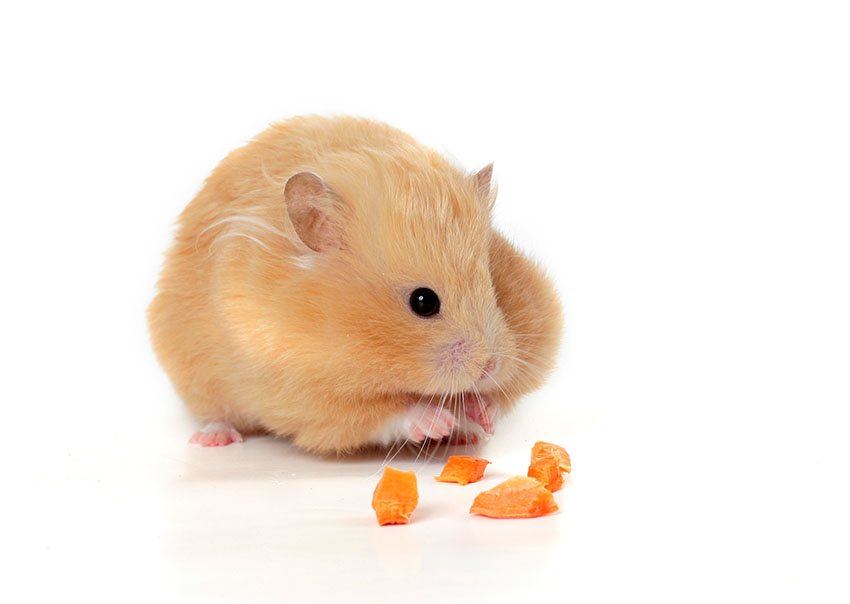 feeding your hamster